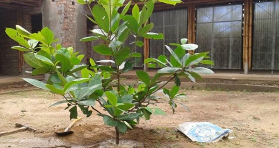 Bäume Pflanzen in Siearra Leone