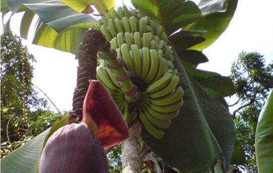 Bananenpflanze mit Blüte und Früchten